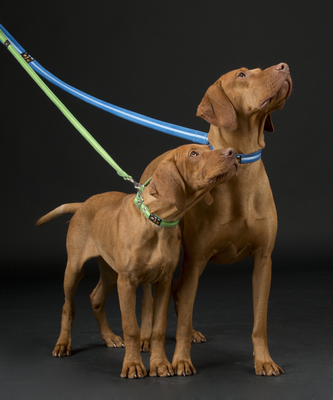 Oscar and Hooch Signature Dog Collar Royal Blue and Apple Green lifestyle 2