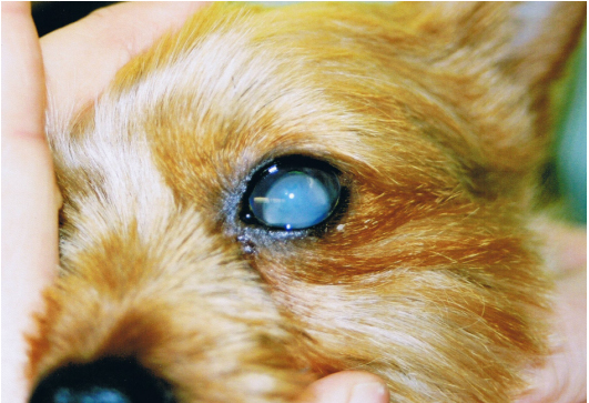 Canine Lens Luxation