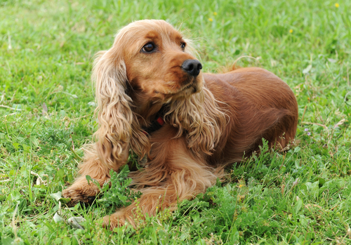 cockerspaniel