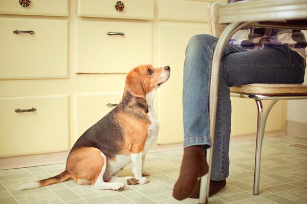 dog-begging-for-table-food1