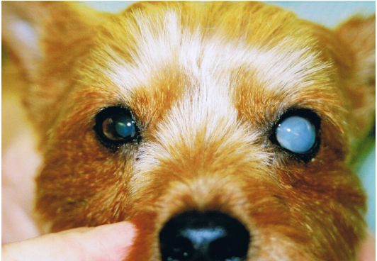 Lens Luxation in dogs