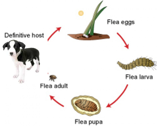 Protecting Dog And Cat From Fleas
