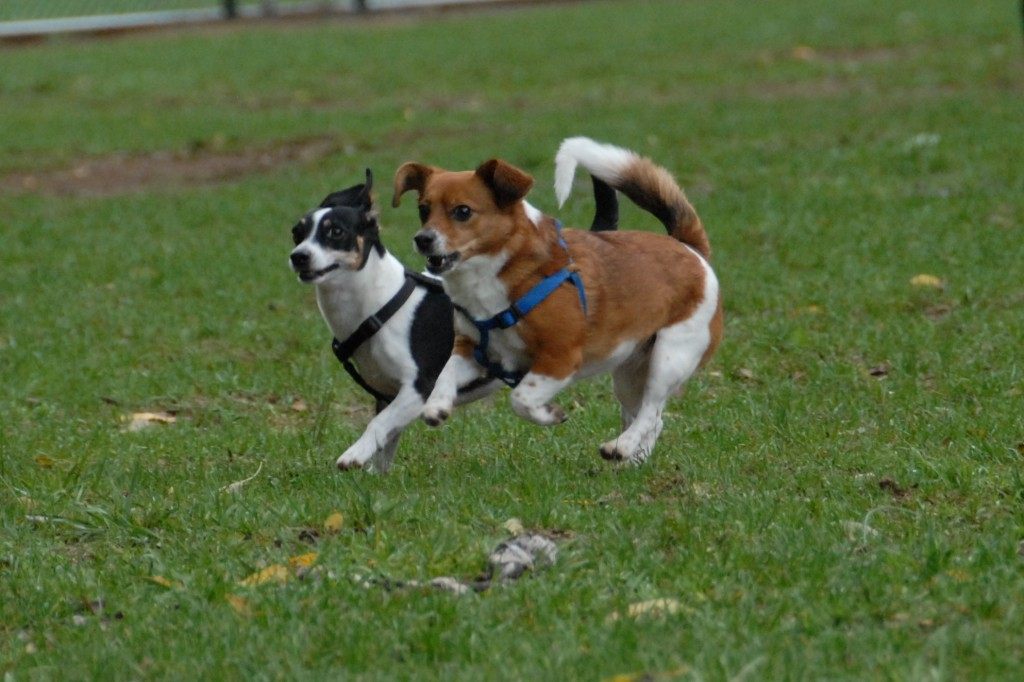 little-dogs