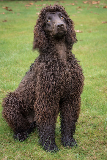 15-dog-breeds-that-are-great-swimmers-Irish-Water-Spaniel