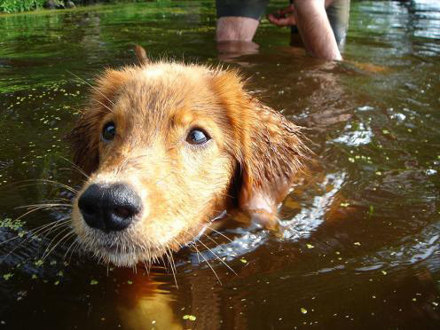 15-dog-breeds-that-are-great-swimmers-Nova-Scotia-Duck-tolling-retriever
