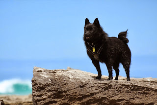 15-dog-breeds-that-are-great-swimmers-Schipperke