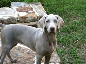 15-dog-breeds-that-are-great-swimmers-Weimaraner