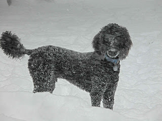 15-dog-breeds-that-are-great-swimmers-poodle