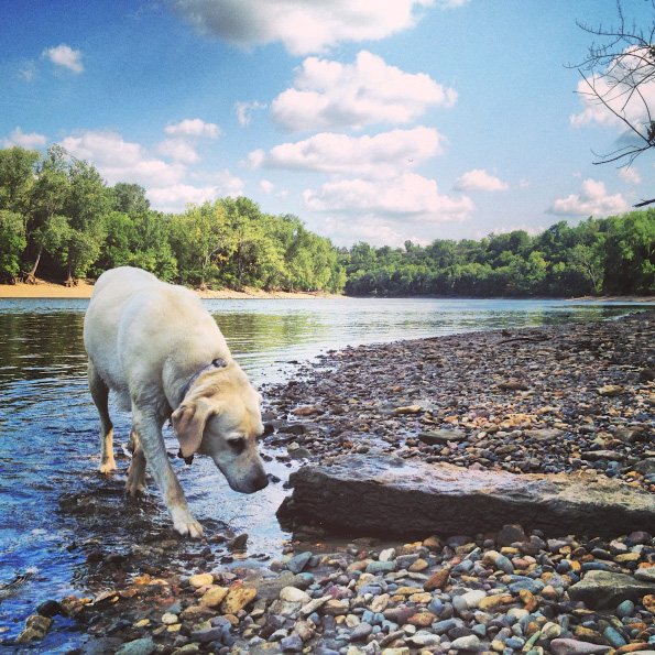 _15-dog-breeds-that-are-great-swimmersLab-Retriever