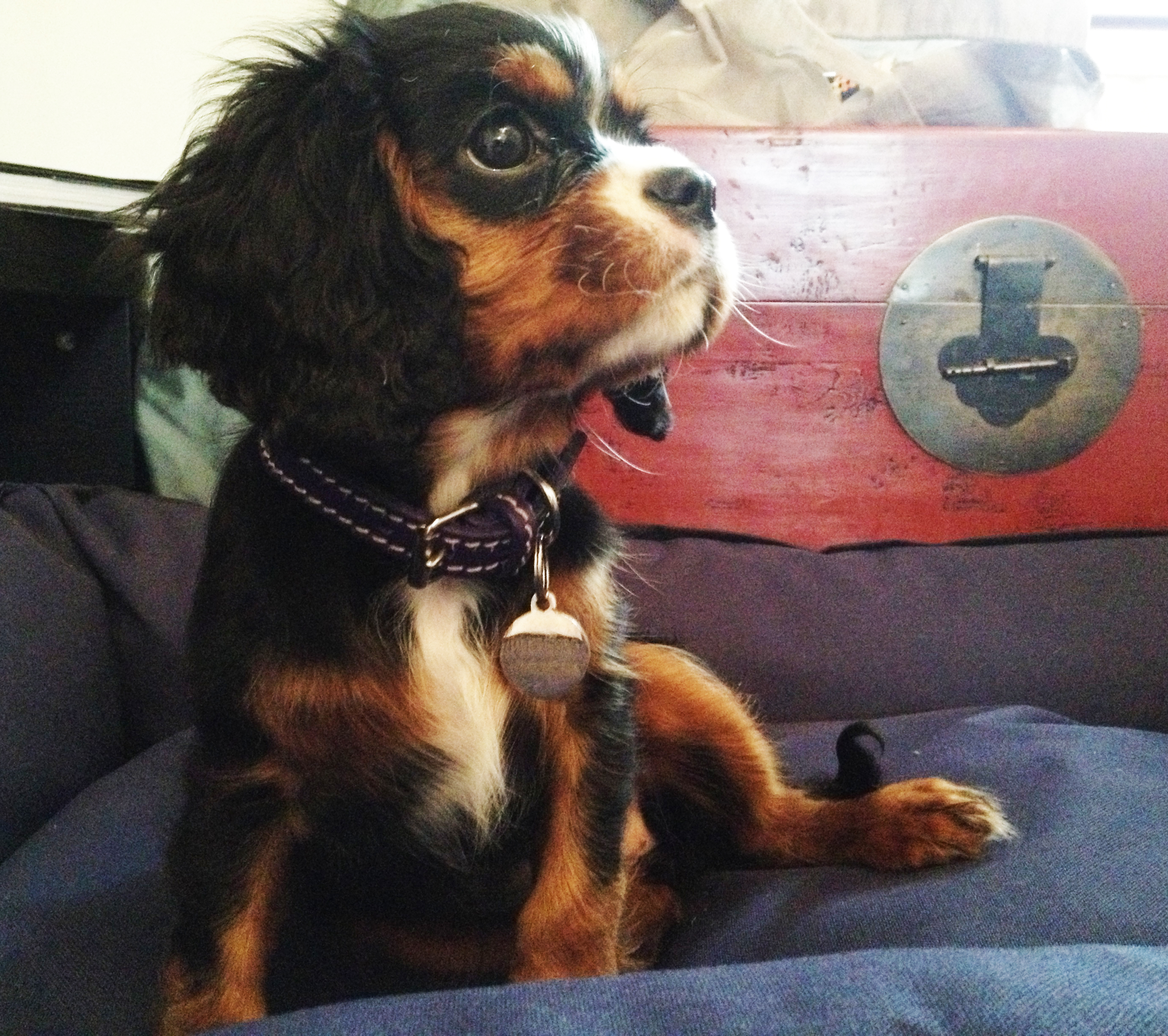 collars for cavaliers