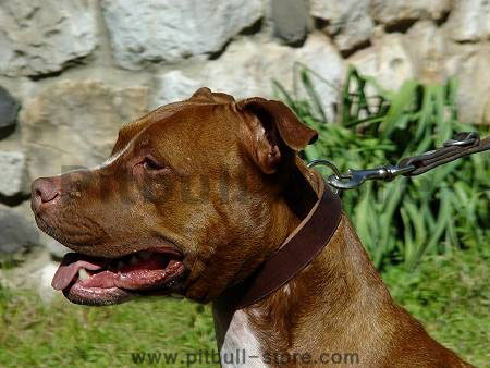 leather-dog-collar-pitbull-terrier-american-pit_LRG