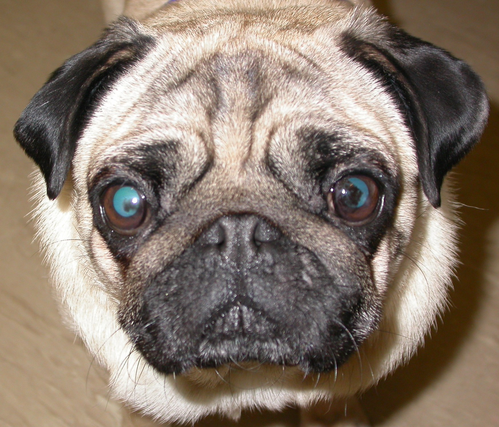 How to Diagnose Eye Problems in Pugs