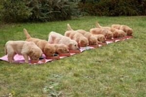 puppies wean top tips for weaning puppies 4249
