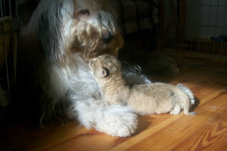 Sheepdog Adopts Abandoned Lion Cub As Her Own 4