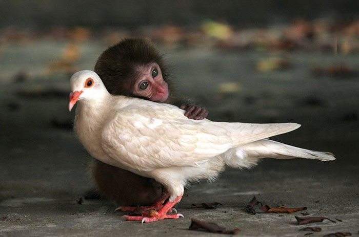 unusual-animal-friendship-monkey-pigeon__700