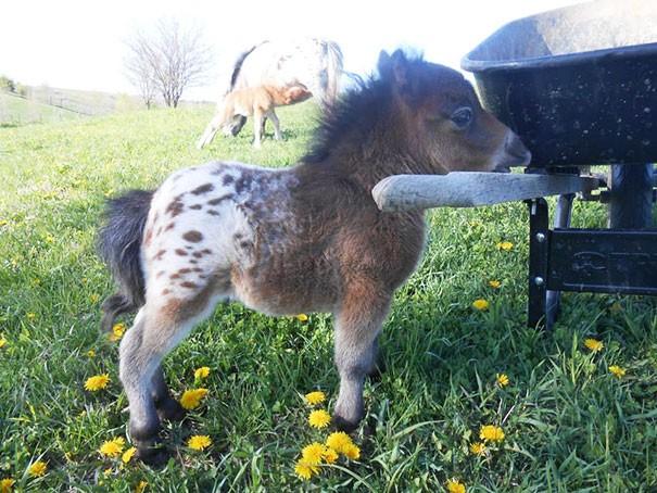 A Baby, Appaloosa, Mini Horse