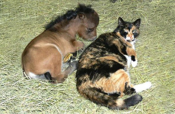 Tiny Horse laying with a cat