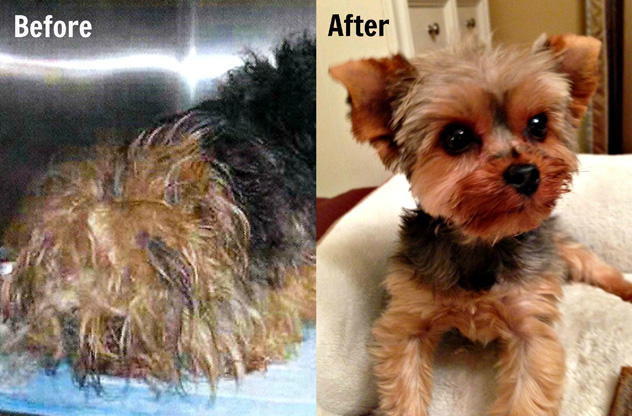 yorkie rescues wonderful before and after pictures of dogs from shelters 4217