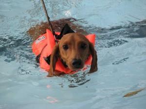 dog swimming