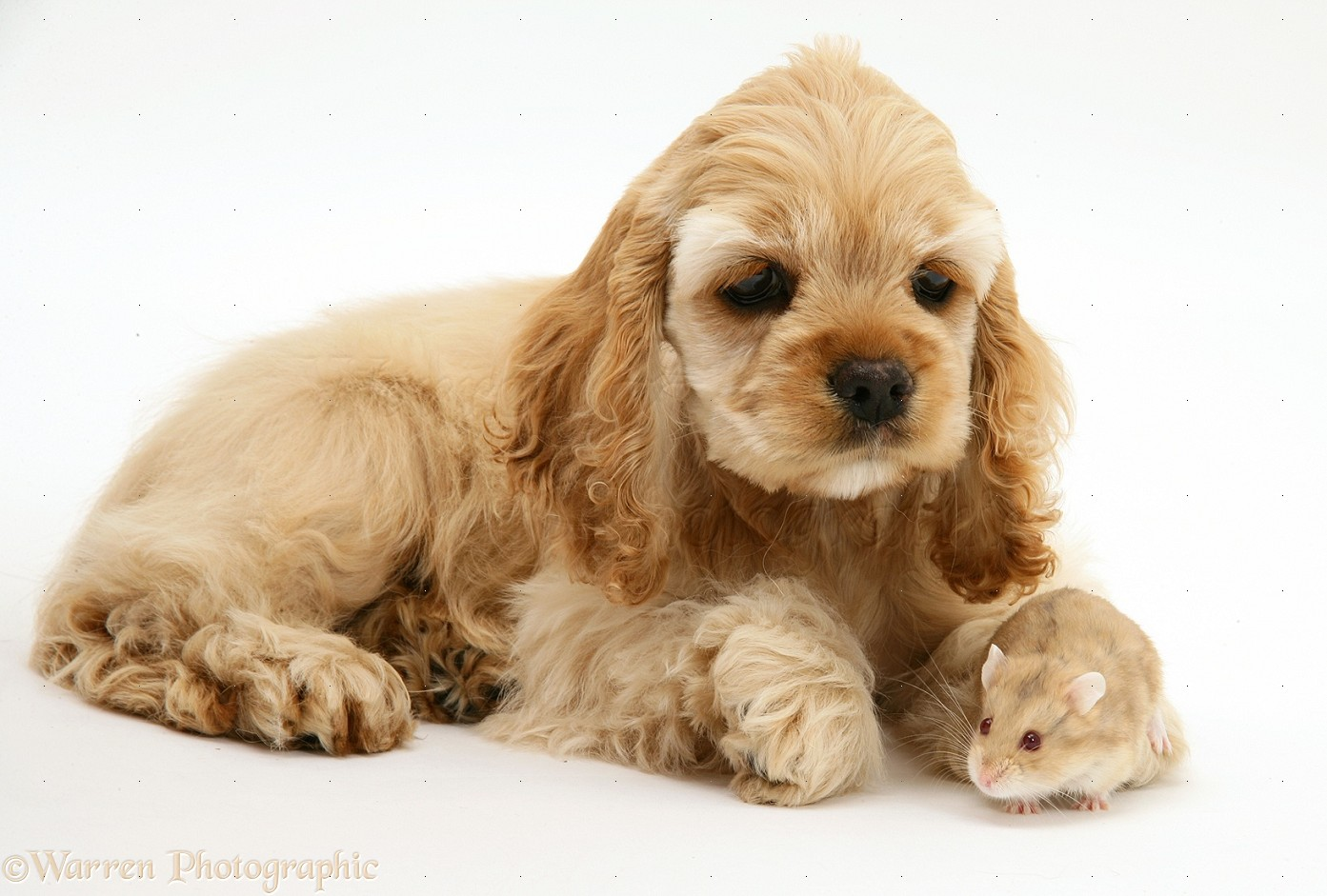 Cocker Spaniel Breed Dogs