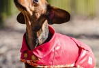 Redhound for Dogs Dartmoor Waterproof Wax Dachshund Dog Coat Red