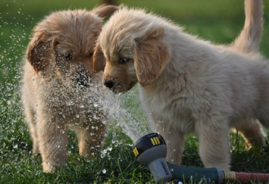 golden retrievers play with sprinkler