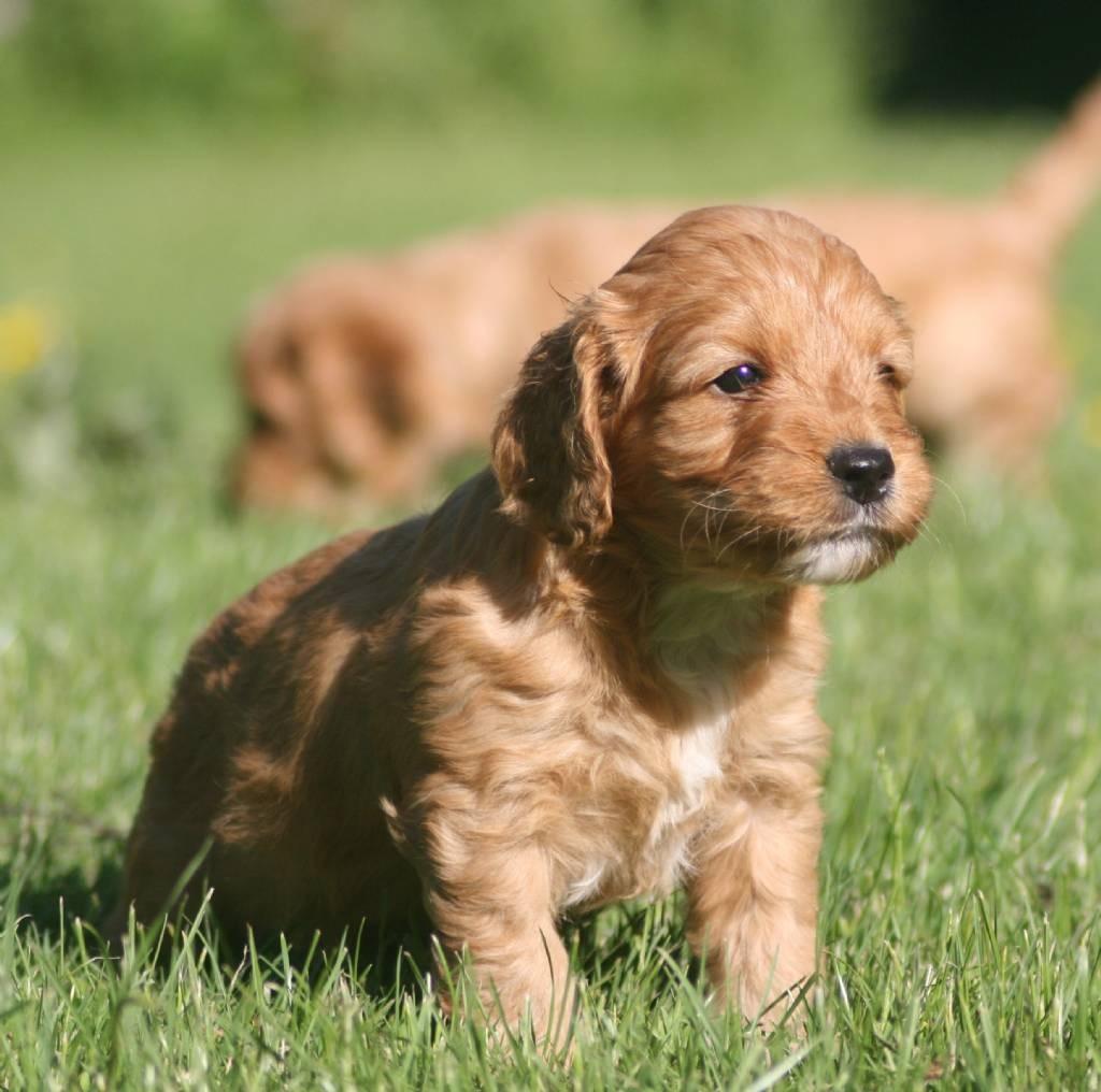 HD-Pic-Of-Cockapoo-Puppy
