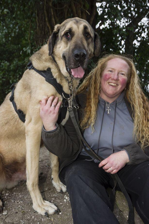 Kurt the biggest dog in Britain 7ft tall