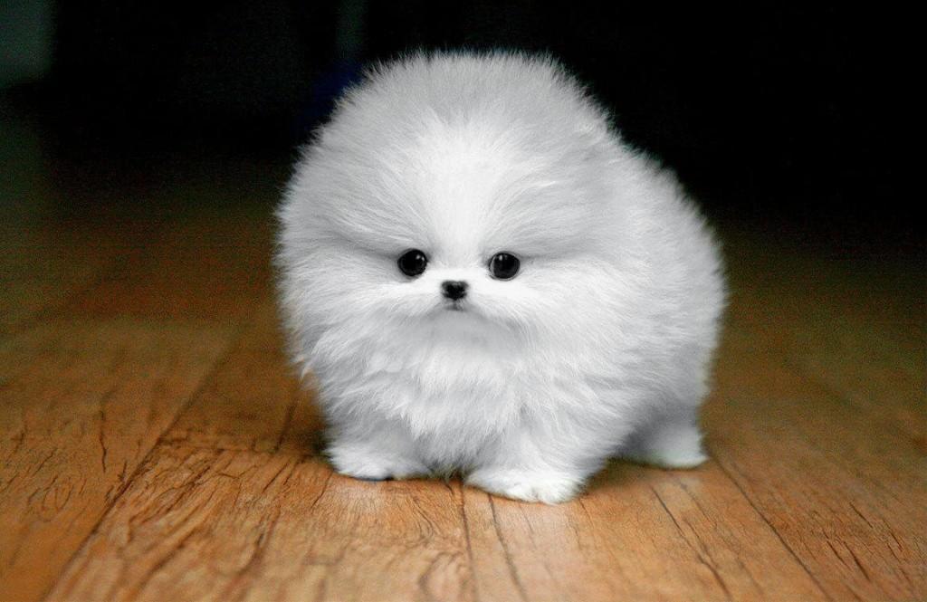 White Maltese Puppy