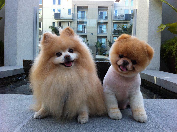 boo-cute-dog-pomeranian-Favim.com-452643