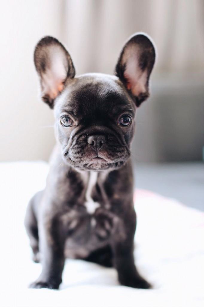 frenchie french bulldog puppy