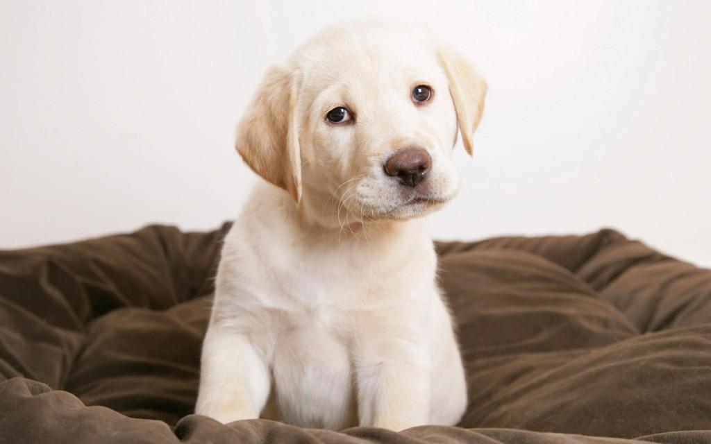 Labrador cutest dogs