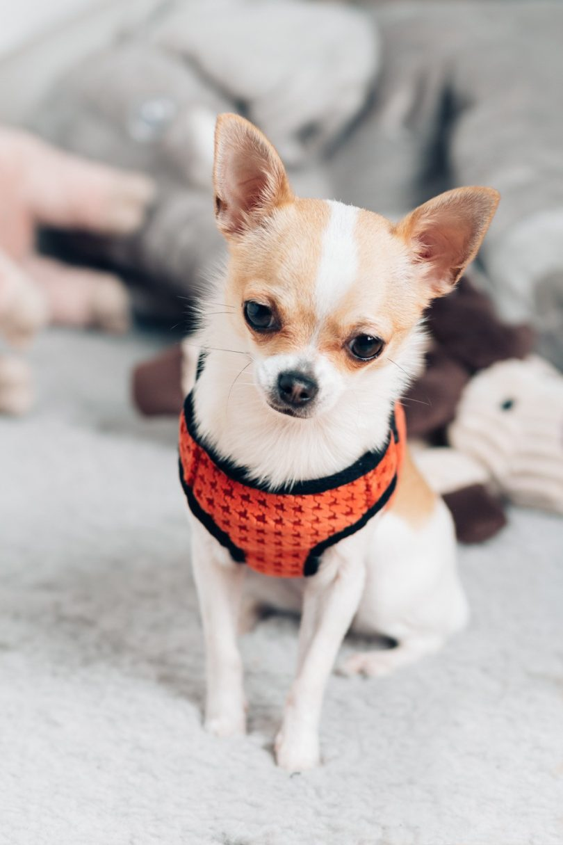 Chihuahua Harness | Harnesses For Chihuahuas