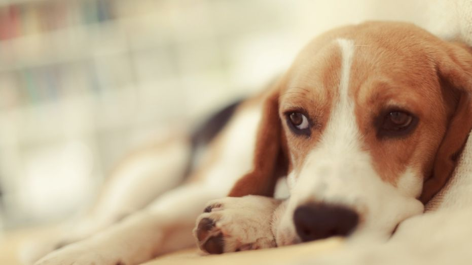 signs lungworm in dogs