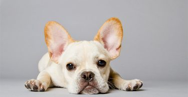 French bulldog low maintenance breed