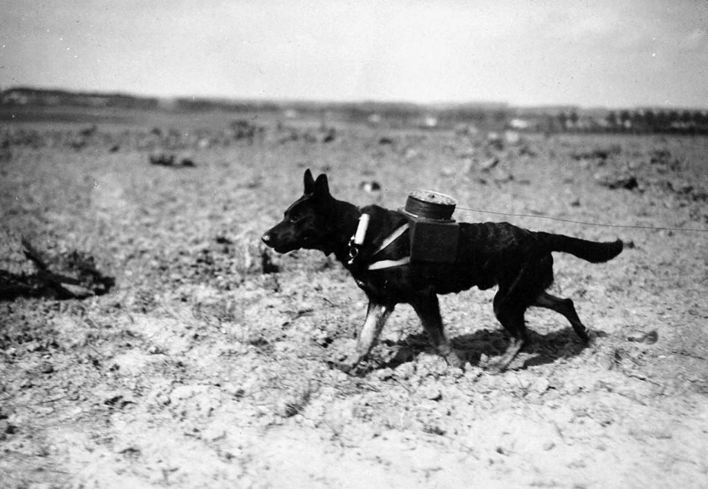 Dog Messengers in World War I