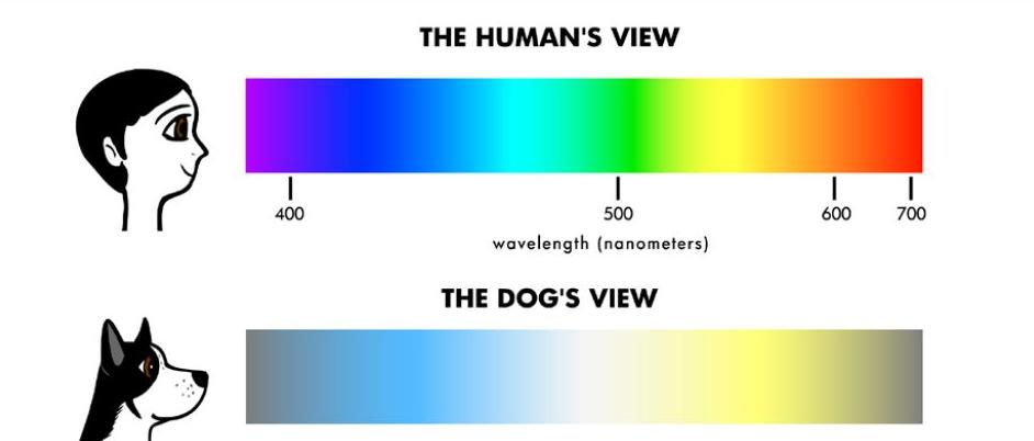 Dog eyesight
