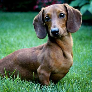 low shedding dog dachshund