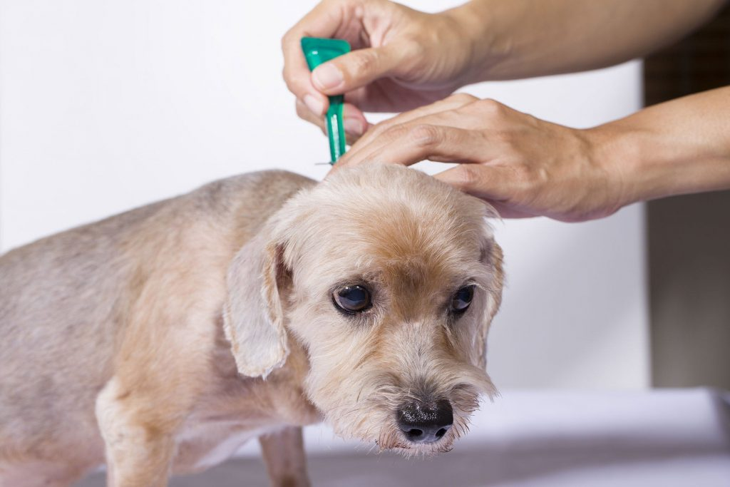 dog fleas treatment