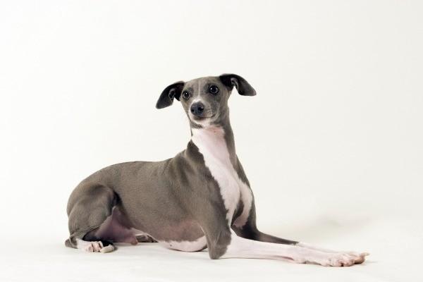 italian greyhound easy care dog breed