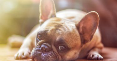 lungworm in dogs causes signs and treatment
