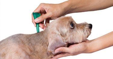 dog fleas spotting treating