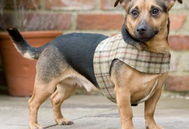 tweed dog harnesses