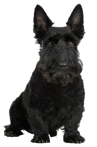Scottie Dog Beds, Collars, Leads and Accessories