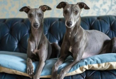 whippet beds