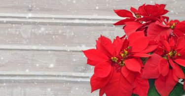 Poinsettia Plants