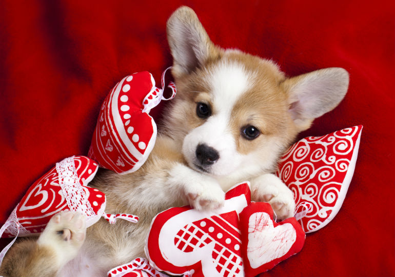 valentines day dogs