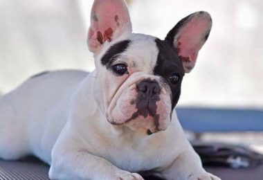 french bulldog health issues