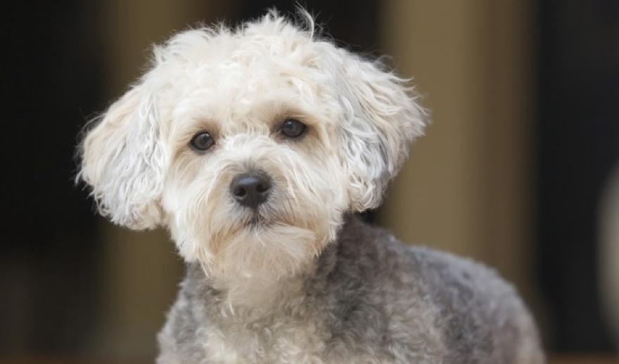 Designer Dog Breed Yorkipoo