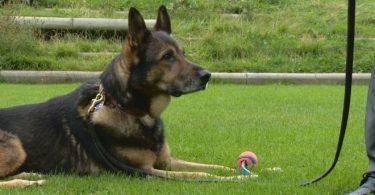Finn the police dog